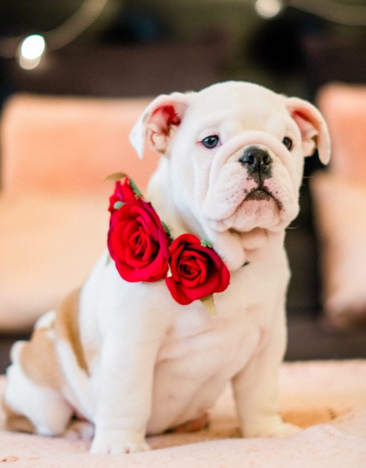 pug puppy with roses collar